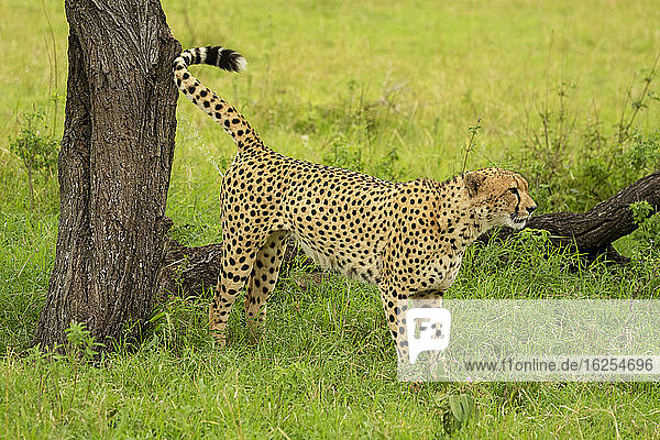 Cheetah (Acinonyx jubatus) standing by tree trunk marking territory; Tanzania