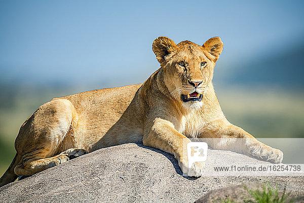 Löwin (Panthera leo)  die auf einem Felsen im hellen Sonnenschein liegt; Tansania
