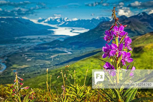Feuerkraut (Chamaenerion angustifolium) blüht auf einem Hügel der Chugach-Berge  mit dem Knik-Gletscher im Hintergrund. Chugach State Park  Süd-Zentral-Alaska im Sommer; Palmer  Alaska  Vereinigte Staaten von Amerika