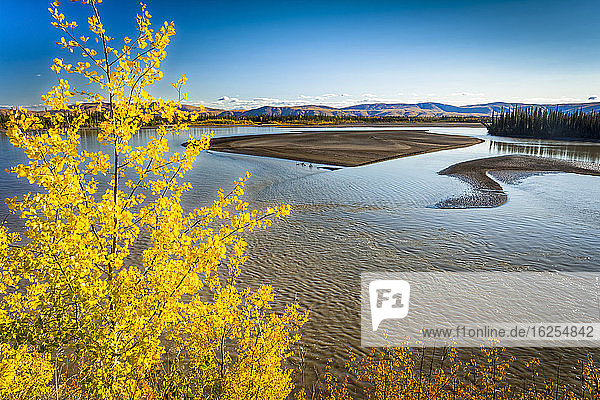Bright yellow birch at Tanana River  Eastern Alaska in autumn; Tok  Alaska  United States of America