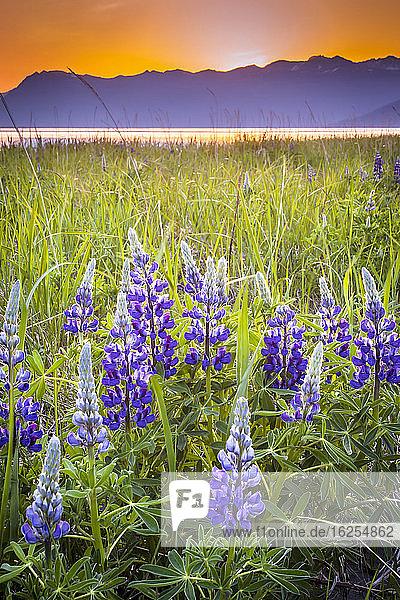 Nahaufnahme der Blüten der Lupine (Lupinus arcticus) in einem Feld bei Sonnenuntergang  Turnagain Arm of Cook Inlet und Chugach Mountains im Hintergrund  Süd-Zentral-Alaska im Sommer; Portage  Alaska  Vereinigte Staaten von Amerika