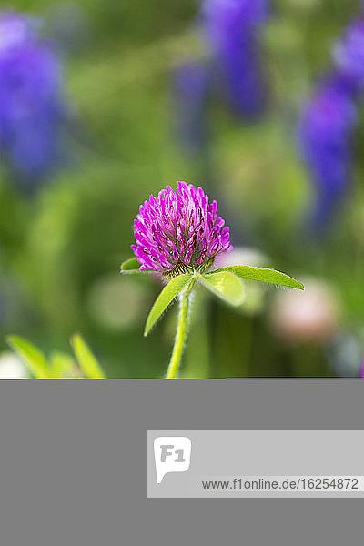 Nahaufnahme einer rosa Wildblume auf einer Wiese; Surrey  British Columbia  Kanada