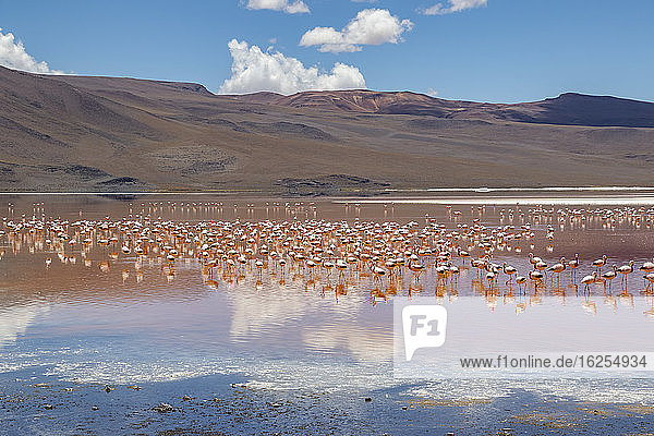 Flamingos on Laguna Colorada  Eduardo Avaroa National Park; Potosi Department  Bolivia