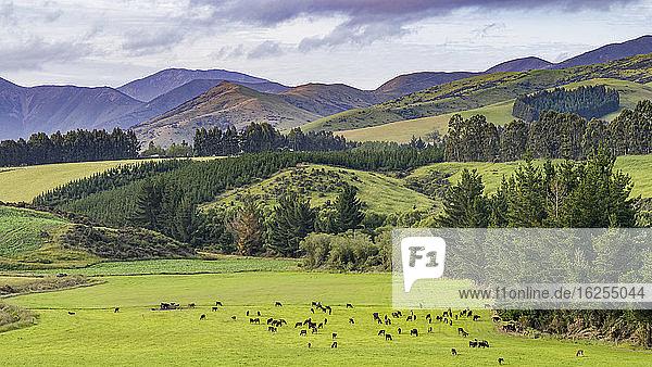 Eine Kuhherde grast auf saftigem Gras auf Ackerland  Longridge North; Te Anau  Southland Region  Nordinsel  Neuseeland
