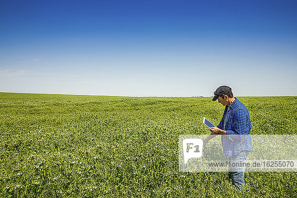 Farmer standing in a pea field using a tablet and inspecting the yield; Alberta  Canada
