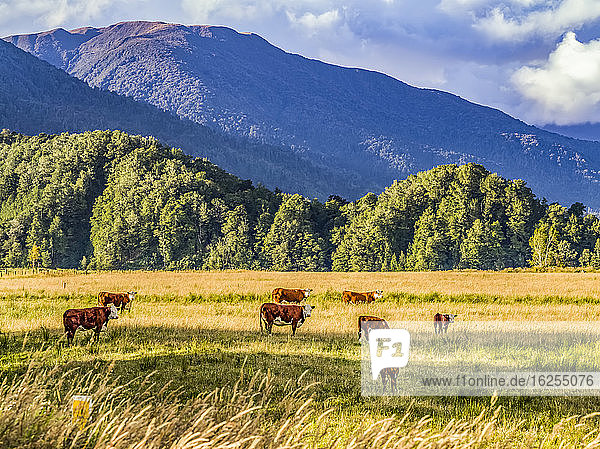 Cows grazing on a grass field in Totara Flat  the centre of the farming industry in the Grey County; South Island  New Zealand