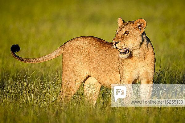 Nahaufnahme einer Löwin (Panthera leo)  die im langen Gras in der Savanne steht  den Kopf dreht und in die Ferne schaut; Tansania