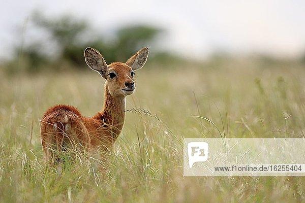 Wasserbock (Kobus)  Jungtier  Queen Elisabeth National Park  Uganda  Afrika