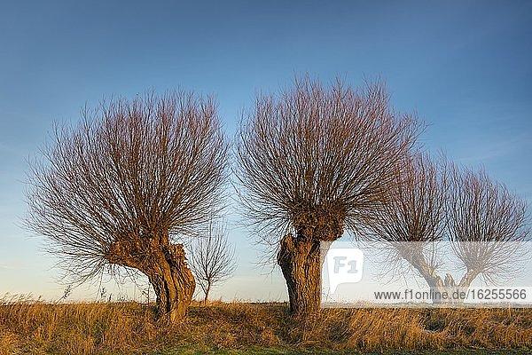 Silhouetten von Kopfweiden vor blauem Himmel Am Feldrand  Korb-Weide (Salix viminalis)  Hohen-Demzin  Mecklenburg-Vorpommern  Deutschland  Europa