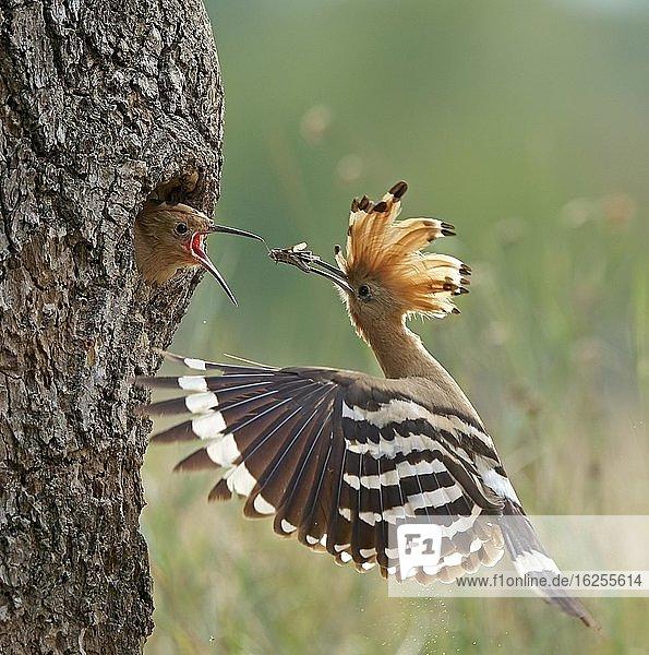 Wiedehopf (Upupa epops)  füttert Jungvogel  Biosphärenreservat Mittelelbe  Sachsen-Anhalt  Deutschland  Europa