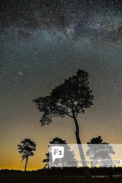 Silhouette einer Kiefer (Pinus sylvestris) vor Sternenhimmel im Venner Moor  Milchstraße  Vörden  Niedersachsen  Deutschland  Europa