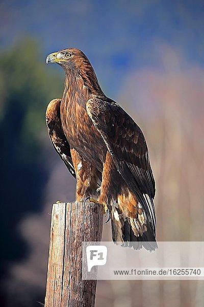 Steinadler (Aquila chrysaetos)  adult  auf Warte  im Winter  Böhmerwald  Tschechien  Europa