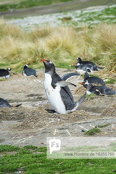Eselspinguine (Pygoscelis papua)  nistend  Grave Cove  West-Falklandinseln  Falklandinseln  Britisches Überseegebiet  Südamerika