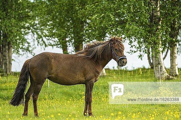 Islandpferd auf einer Wiese  das Gras frisst  Schwedisch-Lappland  Schweden.
