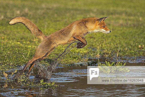 Red fox (Vulpes vulpes) jumps over a water body  jump  action  Netherlands