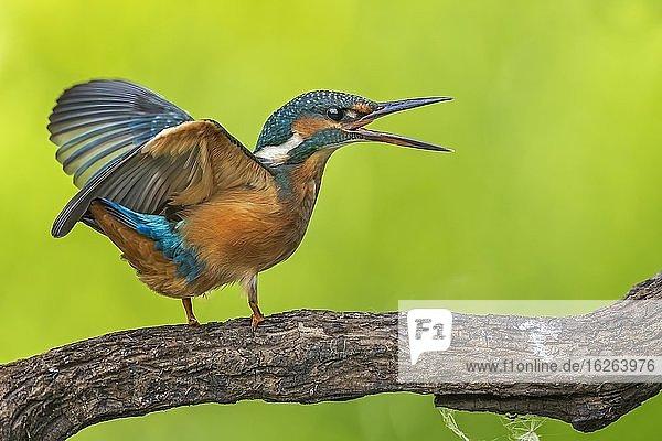 Eisvogel (Alcedo atthis) Jungvogel streitend,  Biosphärenreservat Mittelelbe,  Sachsen-Anhalt,  Deutschland,  Europa