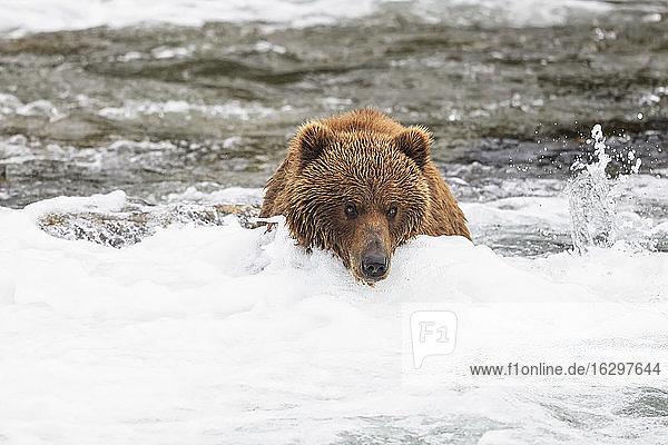 USA  Alaska  Katmai National Park  Brown bear (Ursus arctos) at Brooks Falls  foraging