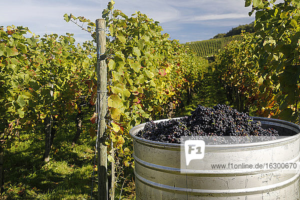 Germany  Baden-Wuerttemberg  Pinot Noir grape harverst near Ballrechten Germany, Baden-Wuerttemberg, Pinot Noir grape harverst near Ballrechten