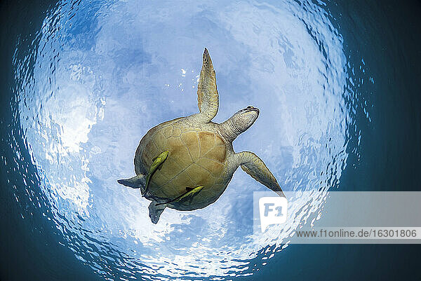 Philippines  Palawan  Busuanga  Dimakya  Green sea turtle (Chelonia mydas)