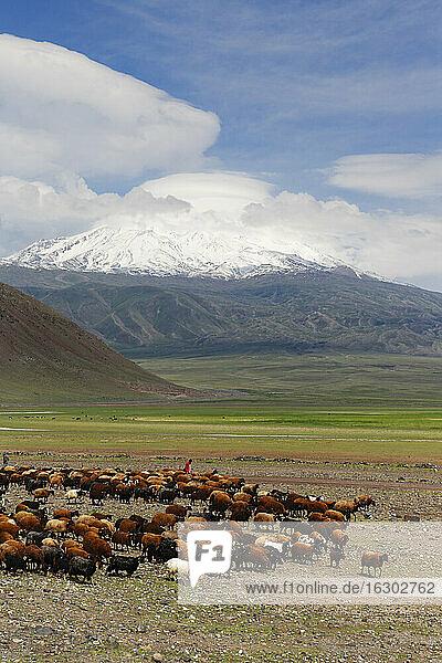 Turkey  Eastern Anatolia  Agri Province  Mount Ararat  Herd of sheep