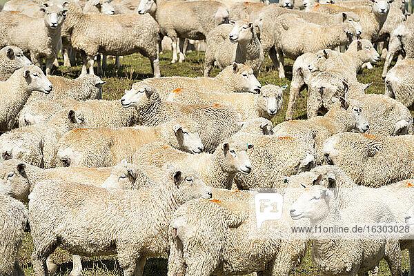 New Zealand  Chatham Island  Waitangi  Flock of sheep