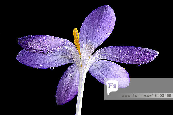 Crocus with water drops in front of black background