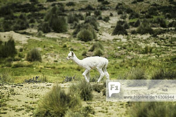 Peru  Piura  Puno  Andes  white baby llama (Lama glama) on the move