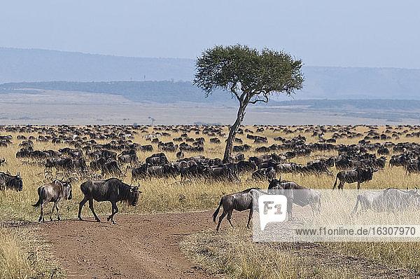 Africa  Kenya  Blue Wildebeest walking at Maasai Mara National Reserve