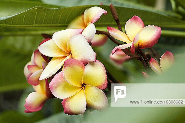Thailand  Koh Lipe  Blossom of Frangipani (Plumeria)