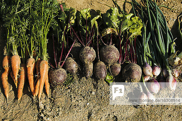 Row of freshly harvested homegrown vegetables