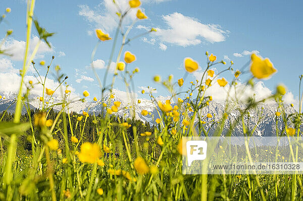 Germany  Upper Bavaria  Buttercup flowers  meadow