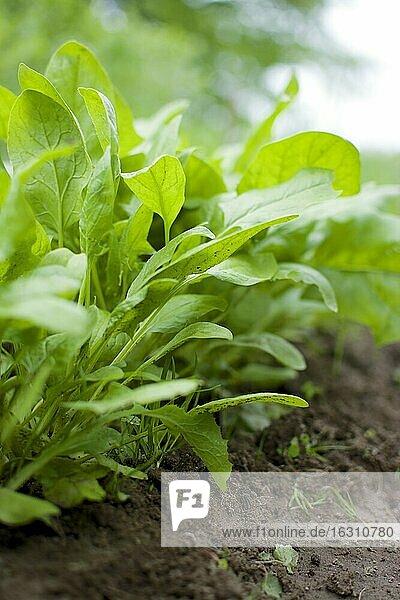 Reihe junger Spinatpflanzen in einem Gemüsegarten Reihe junger Spinatpflanzen in einem Gemüsegarten