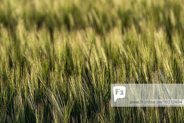 USA  Idaho  Sun Valley  Close up of wheat field in summer