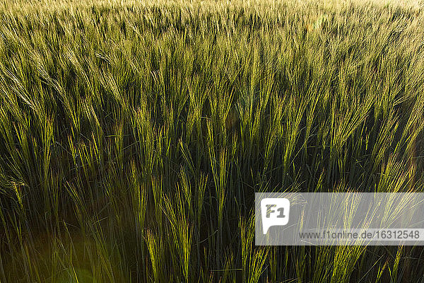 USA  Idaho  Sun Valley  Close-up of wheat crop in field