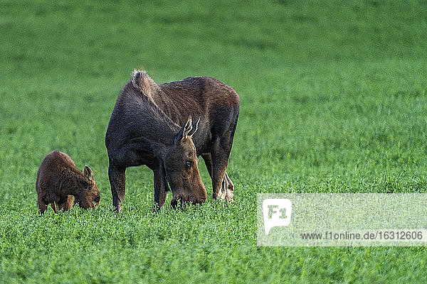 USA  Idaho  Sun Valley  Female moose with young one in meadow