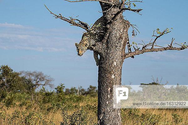 Ein Leopard  Panthera pardus  blickt nach unten  bevor er aus einem Baum springt.