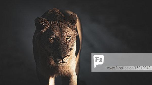 Eine Löwin  Panthera leo  steht in gesprenkeltem Licht und Schatten