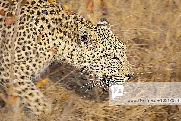 Ein Leopard  Panthera pardus  läuft durch langes  trockenes Gras  Bewegungsunschärfe  schaut aus dem Rahmen