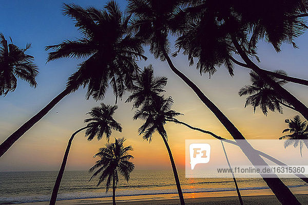 Leaning palm trees at sunset on lovely unspoilt Kizhunna Beach  south of Kannur on the state's North coast  Kannur  Kerala  India  Asia