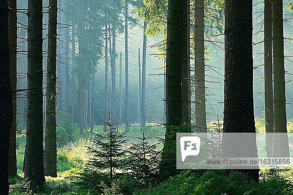 Die Sonne strahlt durch naturnahen Fichtenwald mit Morgennebel  Nationalpark Harz  Niedersachsen  Deutschland  Europa