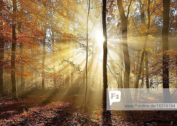 Naturnaher Laubwald aus Eichen und Buchen im Herbst  Sonne strahlt durch Morgennebel  Ziegelrodaer Forst  Sachsen-Anhalt  Deutschland  Europa