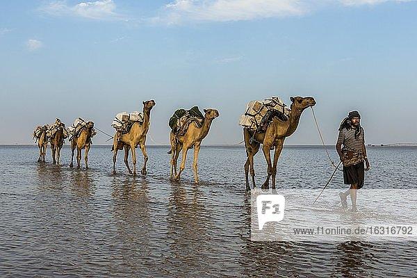 Camels loaded with rock salt plates walk through a salt lake  Danakil depression  Ethiopia  Africa