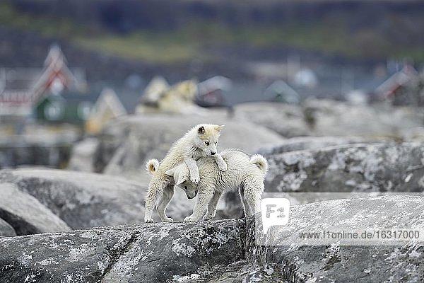 Zwei spielende junge Grönlandhunde auf Felsplatte  Welpen  Qeqertarsuaq  Diskoinsel  Grönland  Nordamerika