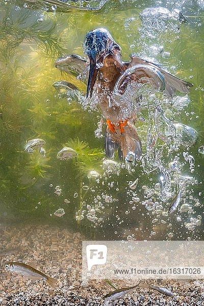 Eisvogel (Alcedo atthis) tauchend unter Wasser nach Fischen  Beutestoß  Jagd  Naarden  Niederlande  Europa
