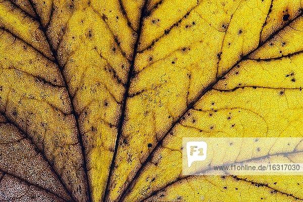 Struktur eines gelblich  herbstlich gefärbten Blattes  Blattfärbung  Oldenburger Münsterland  Emstek  Niedersachsen  Deutschland  Europa