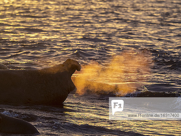 Southern elephant seal bull (Mirounga leoninar)  on the beach at sunrise in Gold Harbor  South Georgia  Polar Regions