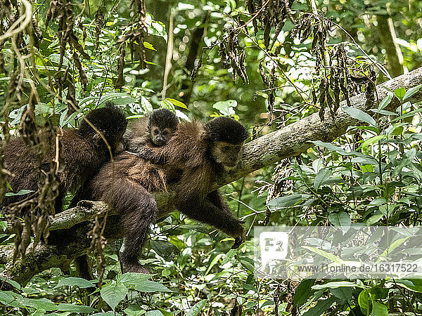 An adult black capuchin monkey (Sapajus nigritus) with youngster on its back at Iguacu Falls  Misiones Province  Argentina  South America