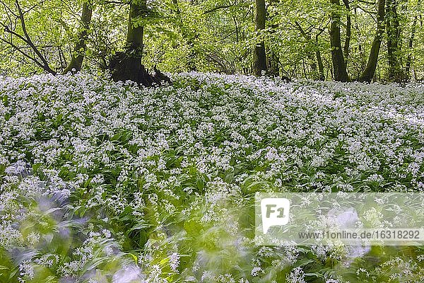 Blühender Bärlauch (Allium ursinum) im Buchenwald  Teutoburger Wald  Hilter  Nordrhein-Westfalen  Deutschland  Europa