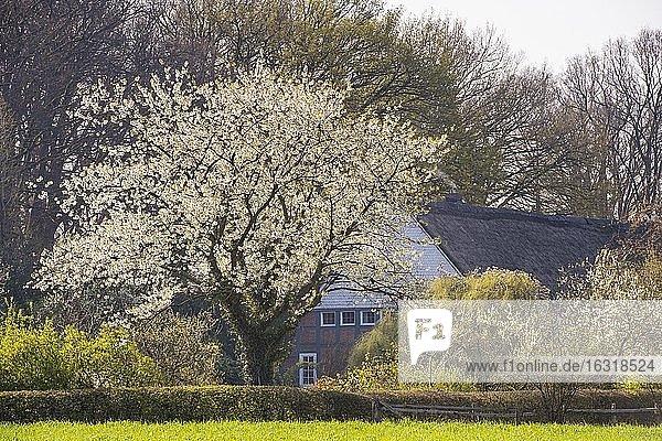 Blühender Kirschbaum vor einem Bauernhof  Oldenburger Münsterland  Elsten  Niedersachsen  Deutschland  Europa