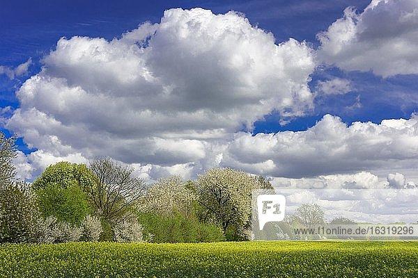 Flowering fruit trees in the rape field  Schaalsee Biosphere Reserve  Zarrentin  Mecklenburg-Western Pomerania  Germany  Europe